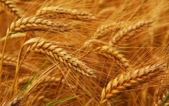wheat-9-27-16